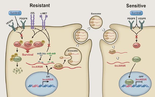 快讯-Cancer Cell:王林辉、王红阳等发现外泌体中具有传递肿瘤抗药性功能的lncRNA