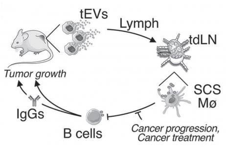 【Science】肿瘤分泌的胞外囊泡影响巨噬细胞靶向疗法的效果