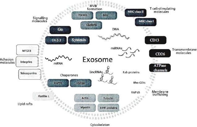 外泌体中的非编码RNA——癌生物学中的新成员