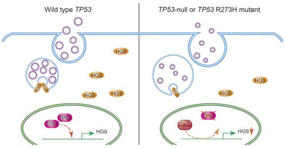 协和医科大学:结直肠癌中TP53通路影响HGS介导的外泌体形成