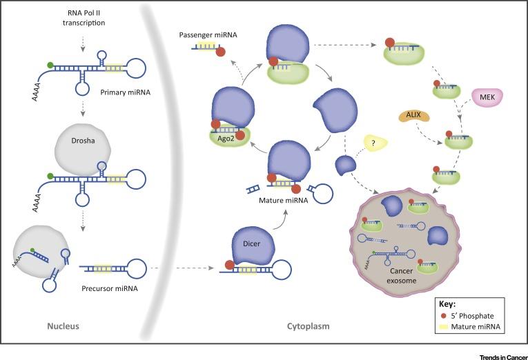 肿瘤外泌体——miRNA的生产工厂