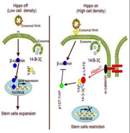 江苏大学许文荣教授Stem cells发表MSC外泌体调控组织再生最新研究成果
