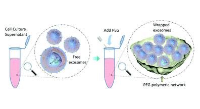 利用PEG分离细胞培养上清外泌体的蛋白质组深度分析