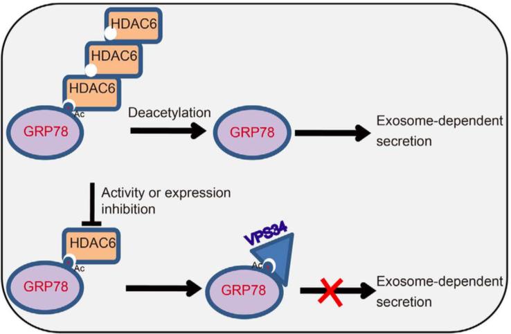 山西大学:乙酰化修饰促进结肠癌GRP78的外泌体分泌