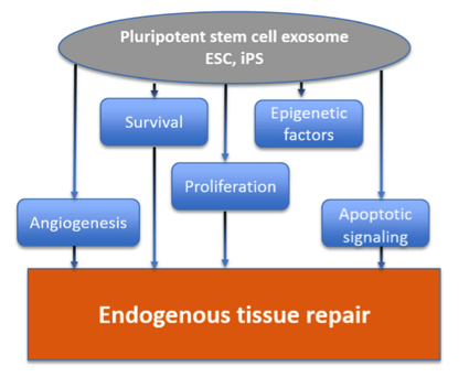 Circ Res:干细胞外泌体作为无细胞治疗剂修复心脏损伤