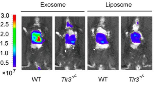 """曹雪涛研究团队揭示肿瘤外泌体促进肺促转移""""龛""""结构形成新机制"""
