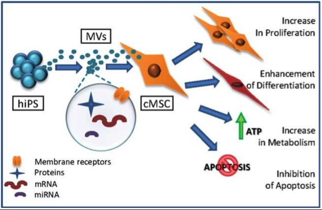 人诱导多能干细胞来源的膜泡改变靶细胞的分化潜能