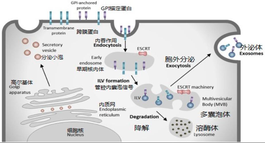 【综述】细胞外囊泡在神经退行性疾病发展中的作用