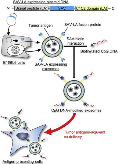 肿瘤免疫治疗的福音:基于外泌体的抗原-佐剂递送系统