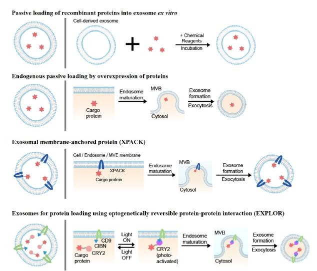 EXPLORs——一种通过光可逆蛋白相互作用促使蛋白质装载入外泌体的新方式
