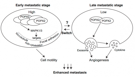 Interesting! 磷酸酶通过外泌体影响肿瘤转移