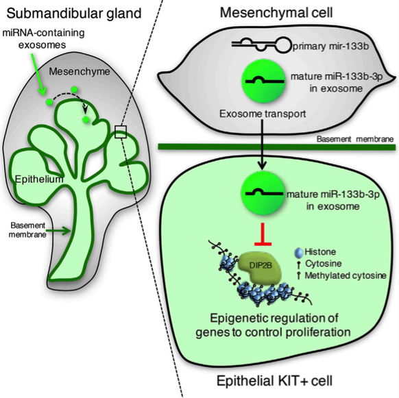Dev Cell:唾液腺间质细胞在器官发生过程中通过外泌体miRNA调节上皮祖细胞的增殖