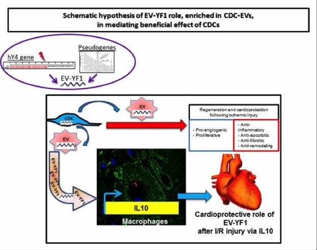 Eduardo Marbán:细胞外膜泡中的Y RNA成分通过调节IL-10的表达和分泌发挥心脏保护功能