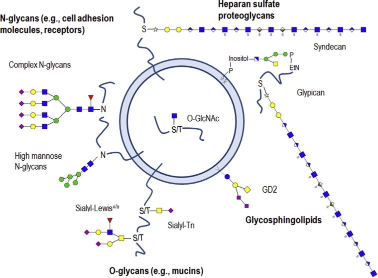 【综述】细胞外囊泡上的糖复合物的结构、功能以及作为癌症标记物