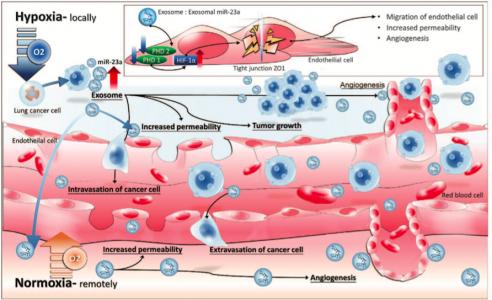 Oncogene:缺氧条件下肺癌细胞分泌的外泌体miR-23a增强血管生成和血管通透性