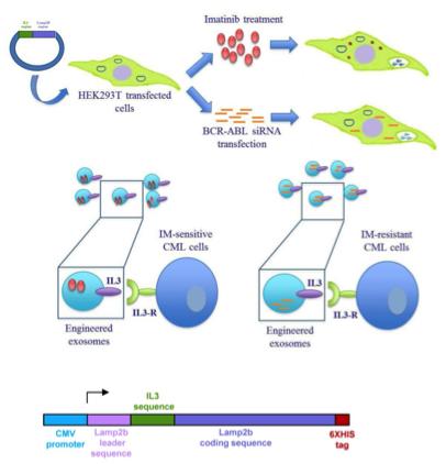 【靶向给药】Theranostics:改造外泌体靶向肿瘤细胞传递抗癌药物可显著抑制慢性髓性白血病细胞生长