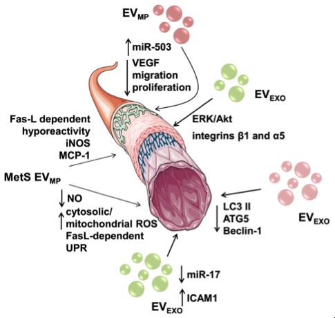 细胞外膜泡与代谢综合征
