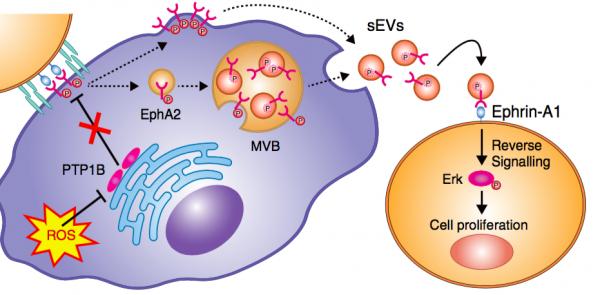Nature Communications:衰老细胞分泌小囊泡促进癌细胞增殖