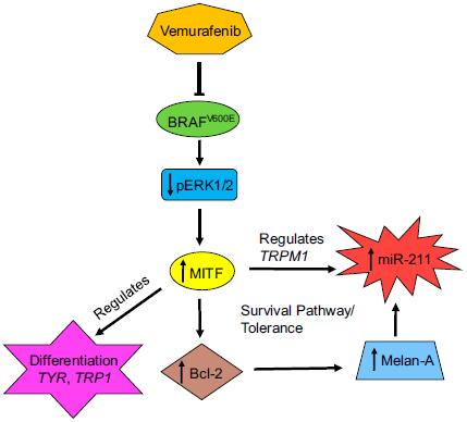 PNAS:抑制BRAF突变 改变恶性黑色素瘤细胞外囊泡中的miRNA含量