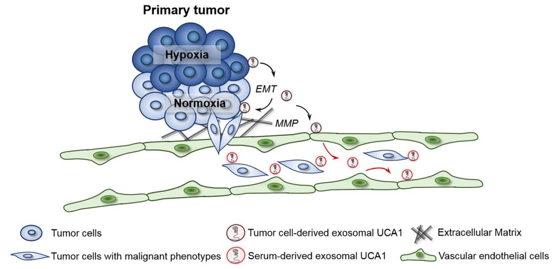 【外泌体与lncRNA】西安交通大学李旭组:低氧外泌体通过lncRNA-UCA1促进膀胱癌的发生发展