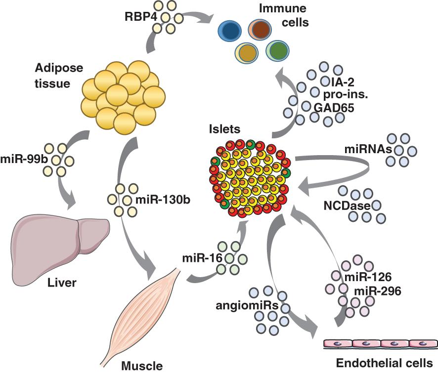 外泌体参与代谢器官之间的相互交流