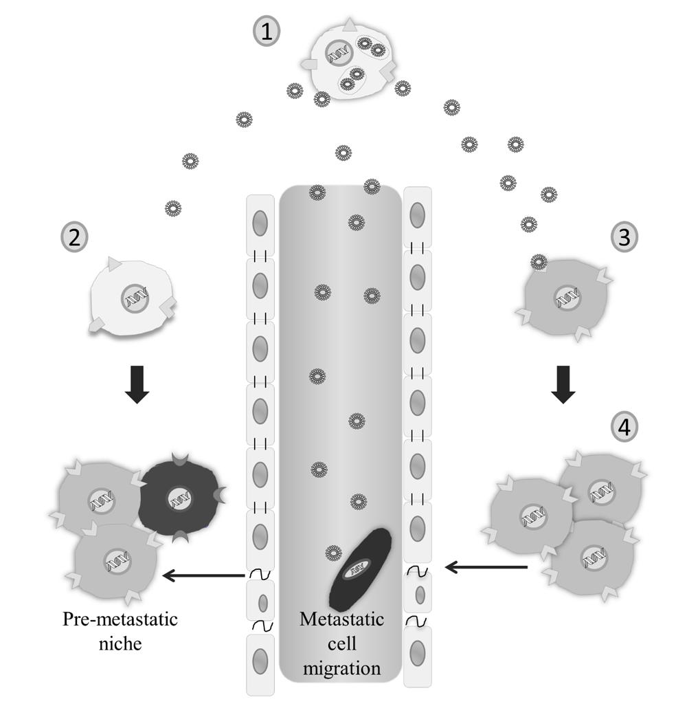 【综述】结直肠癌细胞的外泌体的功能