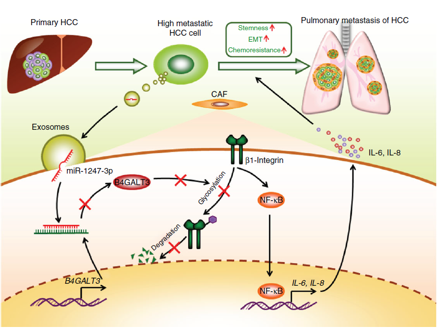王红阳院士团队Nature Communications杂志揭示外泌体miRNA在肝癌肺转移中的新机制