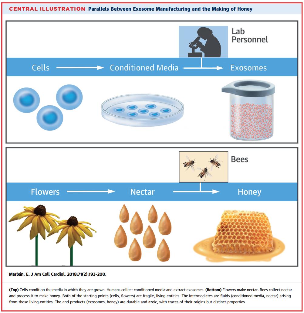大牛观点:蜜蜂从花朵采集花蜜并加工成蜂蜜的过程就好比我们从细胞采集培养上清并加工成外泌体的过程