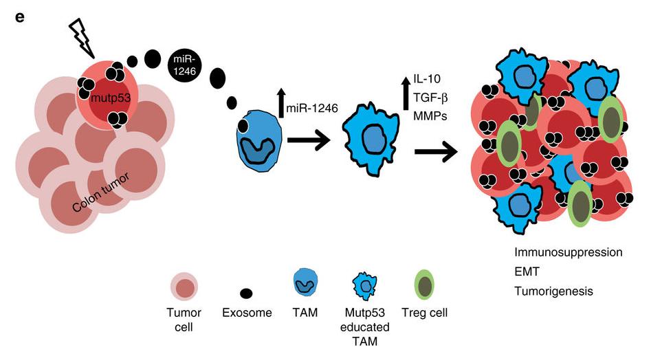 """p53突变的肿瘤细胞分泌外泌体 诱导巨噬细胞""""促肿瘤化"""""""