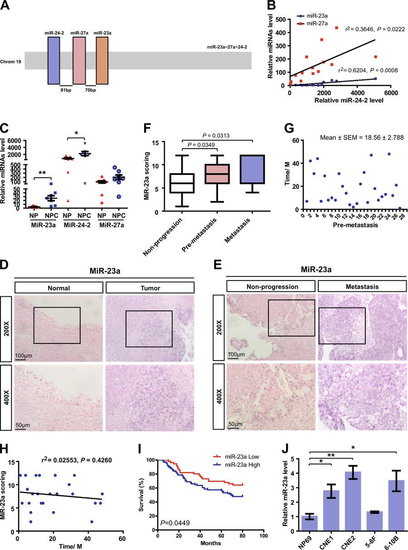 南通大学:鼻咽癌外泌体来源的miR-23a靶向TSGA10基因促进肿瘤血管生成