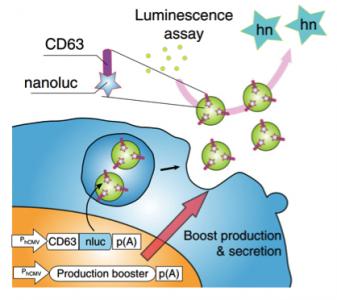 Nature子刊:产量大、靶向好,这种改造的外泌体生产细胞可有效治疗帕金森
