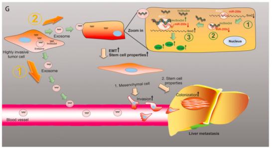 陆军军医大学研究人员Oncogene杂志发现胰腺癌lncRNA Sox2ot促进侵袭转移