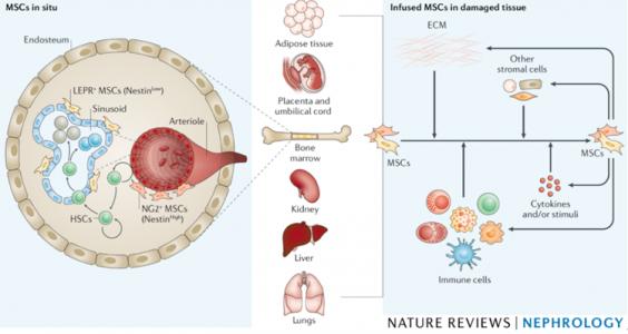 时玉舫课题组在Nature Reviews Nephrology就炎症微环境调控干细胞的应用和机制发表特邀综述
