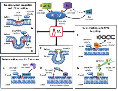 J Lipid Res杂志连发两篇外泌体脂质相关综述 阐述磷脂和鞘脂在外泌体发生和应用中的作用