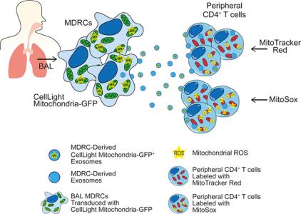 气道髓源调节细胞通过外泌体转移线粒体至T细胞发挥免疫调节功能