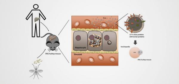 外泌体生物标志物检测潜伏间日疟原虫感染
