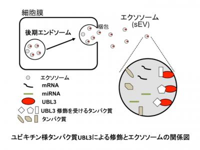Nature子刊:UBL3修饰影响外泌体蛋白的分选