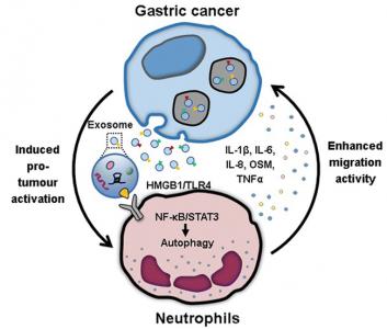 江苏大学医学院:肿瘤来源的外泌体诱导中性粒细胞的N2极化以促进胃癌细胞迁移