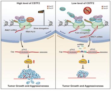 中山大学肿瘤防治中心发现3'UTR短缩型RAC1异构体促进膀胱癌侵袭和转移的原创性成果
