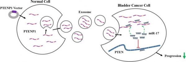 南京医科大学:外泌体传递的lncRNA PTENP1抑制膀胱癌进展