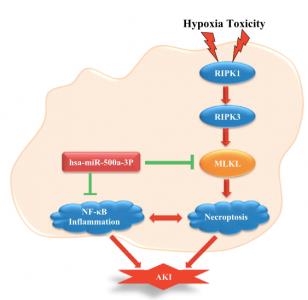安徽医科大学:hsa-miR-500a-3P通过靶向肾上皮细胞中MLKL介导的坏死性凋亡来减轻肾损伤