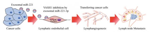 广州医科大学:宫颈鳞状细胞癌分泌的外泌体miR-221-3p通过靶向VASH1促进淋巴管生成和淋巴转移