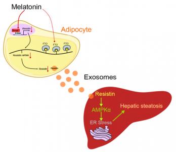 西北农林科技大学孙超课题组:减少脂肪细胞衍生外泌体抵抗素的递送可以缓解肝脏脂肪变性