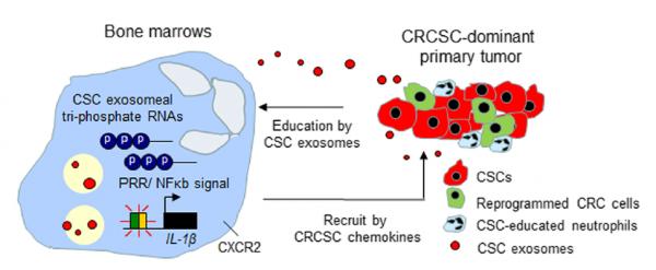台湾阳明大学杨慕华课题组:肿瘤干细胞样细胞衍生的外泌体激活中性粒细胞促进结肠癌发生