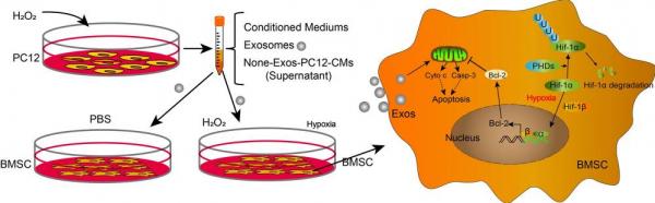 温州医科大学:缺氧条件下神经细胞衍生的外泌体诱导HIF-1α表达促进骨髓间充质干细胞的存活