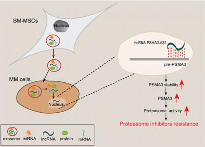 苏州大学庄文卓、李炳宗课题外泌体PSMA3和PSMA3-AS1促进多发性骨髓瘤对蛋白酶体抑制剂的耐药性