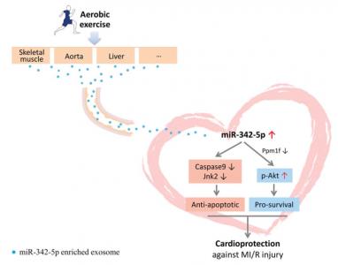 长期锻炼身体对心脏有好处?外泌体miR-342-5p来解释 | 四军大最新发现【Circulation Research】