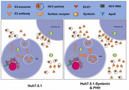 上海巴斯德所发现外泌体协助丙型肝炎病毒免疫逃逸过程中的重要调控因子