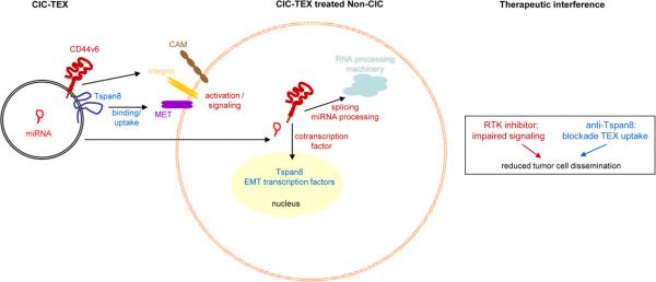 广东药科大学:胰腺癌起始细胞外泌体通过CD44v6和Tspan8将恶性信息传递到非肿瘤起始细胞中