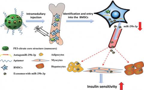 中南大学湘雅医院罗湘杭课题组:骨髓间充质干细胞来源的外泌体miRNA调节衰老相关的胰岛素抗性